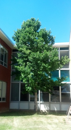 Ginkgo by Lewis and Clark Middle School